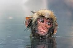 snow monkeys japan - Google Search                                     A DAY IN THE LIFE.......