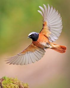 Common Redstart (Phoenicurus phoenicurus) >>by John Fielding Cute Birds, Pretty Birds, Beautiful Birds, Flying Bird Drawing, Bird Drawings, Flying Birds, Angry Birds, Birds In The Sky, Birds In Flight