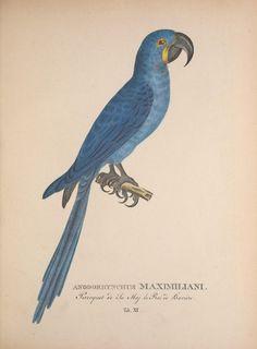 t. 1 - Avium species novae, quas in itinere annis MDCCCXVII-MDCCCXX per Brasiliam / - Biodiversity Heritage Library