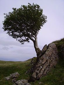 A flying rowan tree, considered magical by the ancient Britons