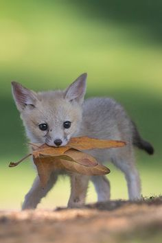 SJ Kit Fox Pup (Wild and Endangered) by Tin Man