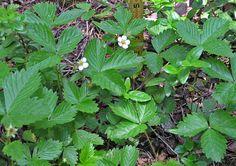 Find colorado wild plants for June - Google Search