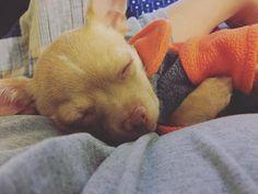 Just showered  she smells so good  Hello  #sashafromthe6ix #chorkie #chihuahua #cutepuppy #chihuahualove #chorkiesofinstagram #chihuahuasofinstagram #yorkie #yorkies #yorkiesofinstagram #puppy #pup #puppies #puppylove #puppiesofig #puppyoftheday #puppiesofinstagram #dog #dogs #dogslife #dogsofig #dogoftheday #dogs_of_instagram #lovedogs #cutedogs #cutepuppy #dogslife #dogsofinstagram #pet #pets #petsofinstagram #mutt  by apupnamedsasha  http://bit.ly/teacupdogshq