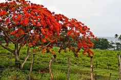 Flamboyan red flowering trees! Vieques, Puerto Rico #fathomontheroad