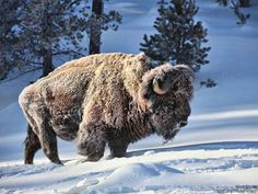 These Animals Don't Care That It's Freezing Outside from Wildlife Promise: Bison in the Snow Wildlife Photography, Animal Photography, Animals And Pets, Cute Animals, Musk Ox, American Bison, Mundo Animal, Wildlife Art, Mule Deer