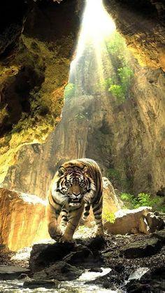 #planet_wildcats #tiger