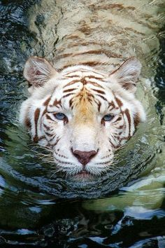 What a Beautiful Tiger ~ Blogger Pixz
