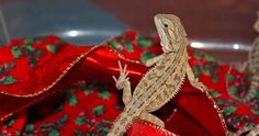 Baby Bearded Dragon helping me decorate for Christmas. Bearded Dragon, Dragons, Christmas Decorations, Baby, Animals, Animales, Animaux, Animal, Baby Humor