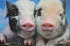 phttp://pinterest.com/search/?q=pigs#igs
