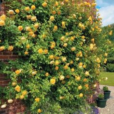 Róża róże ANGIELSKA Graham Thomas PIĘKNA donica Łopatki - image 2