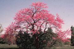 Árbol de Judas o también llamado Arbol del Amor. Flores de color rosa.
