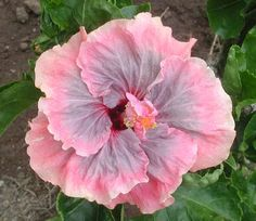 Hibiscus 'Coraleah'