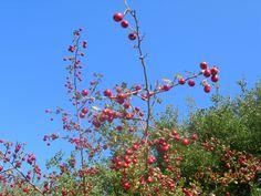 Κράταιγος ή Μπερκιά είναι ένα πολύ καλό βότανο για την καρδιά. μειώνει την υψηλή πίεση, βοηθάει στην αιμάτωση του μυοκαρδίου και τονώνει τα αγγεία. Red