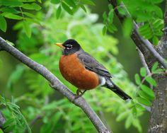 American Robin (Turdus migratorius) this ones pretty fat! Birds 2, Pet Birds, Johnny Jump Up, Robin Redbreast, American Robin, State Birds, Bird Gif, Robin Bird, Animals Images
