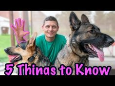 This recognizable breed is loyal and courageous. Photo: Viv Key Characteristics of German Shepherd DogsAKC Group: HerdingHeight: inchesWeight: 5 Things, Things To Know, German Shepherd Puppies, German Shepherds, Training Your Puppy, Dog Breeds, Pets, Youtube, Division