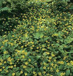 "Green and gold (Chrysogonum virginianum var. australe) woodland native, ""thrives on neglect"""