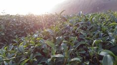 Tea Garden | Ali Mountain | Taiwan