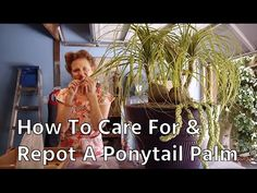 10 Pony Tail Palm Ideas Pony Tail Palm Ponytail Palm Care Ponytail Plant