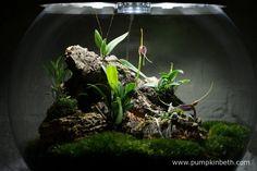 Here's my Miniature Orchid Trial BiOrbAir Terrarium, as pictured on the 14th May 2016.  Inside this terrarium, Dryadella simula, Masdevallia decumana, Masdevallia rechingeriana, and Phalaenopsis parishii are all in flower.
