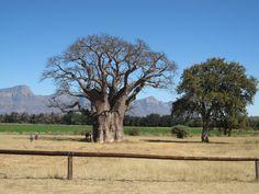 Baobab van wel 1000 jaar oud in Hoedspruit