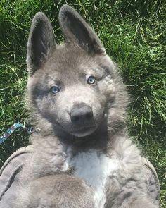 """""""Lou"""" Blue Bay Shepherd from Southern Breeze Kennels"""