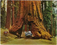 Drive Thru Tree, Sequoia National Park, California