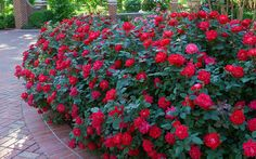 26 Best Knockout Rose Garden Ideas Images Outdoor Plants Roses