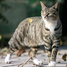 See related links to what you are looking for. Black American Shorthair, Exotic Cat Breeds, Tortoiseshell Tabby, Purebred Cats, Cats For Sale, Animal Drawings, Drawing Animals, Warrior Cats, Domestic Cat