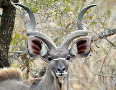 A male kudu in Kruger Park, South Africa