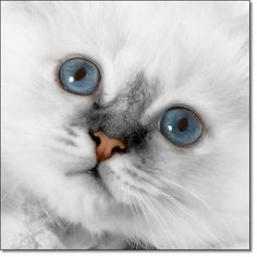 A photograph of White fur, Blue eyes and a Pink nose          : How could I forget these eyes?          : Birman kitten