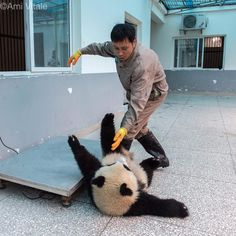 "Photo by @amivitale #onassignment for @natgeo. It's not easy weighing a precious one-year-old panda cub! Jin Bao Bao takes a tumble off the scale at Bifengxia Giant Panda Breeding and Research Center in Sichuan Province, China. Jin Bao Bao's name means ""Golden Baby."" Follow me @amivitale for more adorable pandas.  @ipandacam @natgeocreative @thephotosociety"