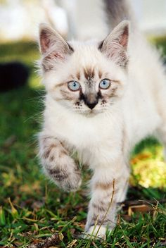 Adorable speckled kitten! I want one!