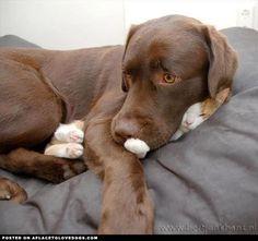 huge awwwww factor!!! chocolate-lab-cuddling a Kitty