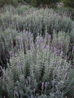 Lavandula dentata Deer Resistant Garden, Garden Pallet, Lavender Garden, Plant Information, Lavandula, French Lavender, Water Wise, Drought Tolerant Plants, Hedges