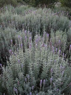 Lavandula dentate French lavender), 1-3' by 1-4', aromatic, waterwise once established, needs good drainage, great low hedge, Zones 8a- 10b.