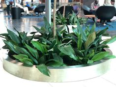 The aspidistra elatior, commonly known as the cast iron plant, is an extremely hardy plant growing in almost all light conditions.