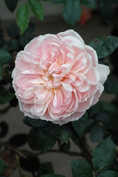 Madame Louis Lévêque n'est pas le plus moussu des rosiers du groupe mais c'est un très beau rosier créé par Lévèque pour son épouse. De belles fleurs globuleuses, parfumées, en forme de chou rose pâle. Arbuste à port érigé, 1,50 m, convenablement résistant aux maladies. Centifolia Muscosa. Lévèque, 1898.