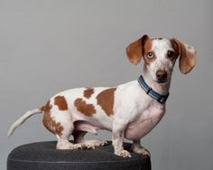 Meet Lil (aka Jaycee) D141129, a Petfinder adoptable Dachshund Dog | Minnetonka, MN | Name: Lil (aka Jaycee)Age: 3 yearsGender: MaleBreed: DachshundWeight: 9.5 lbsDog friendly: YesCat...