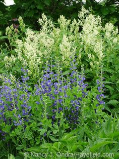 Persicaria polymorpha with Baptisia australis at Hayefield