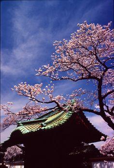 Kirschblüten tokyo temple with cherry blossoms 上野 花見