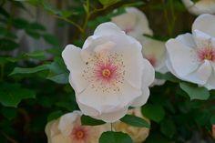 Anmutige Blüten der Strauch-Rose 'Jacqueline du Pré' erscheinen ab Juni bis zum ersten Frost. Die grossen weissen Blüten-Blätter sind rosa überhaucht mit auffallend rosa bis dunkelroten Staubgefässen. Wunderschön! Und irgendwie erhaben...