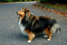 Monty the Sheltie in East Granby, Connecticut.