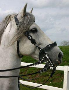 Andalusian Stallion10 - Stock by ~Bolero-L on deviantART