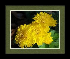 Nature Framed Print featuring the photograph Yellow Chrysanthemums At Dusk by Sheila Brown