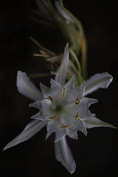 Pancratium maritimum. Amarilidáceae.