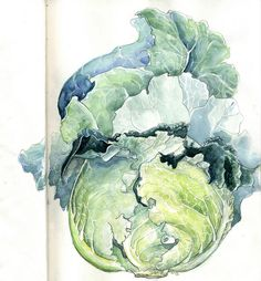 Cabbage Study VII by amwah on DeviantArt Watercolor Fruit, Watercolor Cards, Watercolor Paintings, Watercolors, Watercolor Pictures, Plant Illustration, Botanical Illustration, Watercolor Illustration, Botanical Drawings