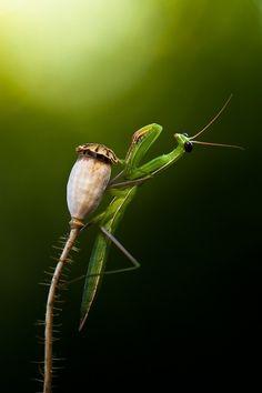Praying mantis from (91) Tumblr