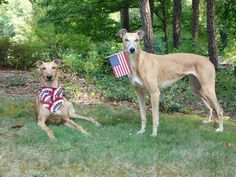 Happy 4th of July! Please rescue and adopt a Greyhound! ♡