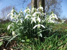 Snowdrops (Galanthus nivalis) - a sign of spring