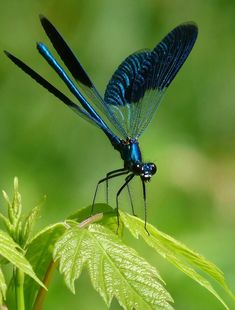poetic blue dragonfly